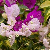 Бугенвиллея фиолетово-бело-желтая :: Александр Деревяшкин