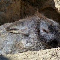 крольчиха на отдыхе :: Александр Прокудин