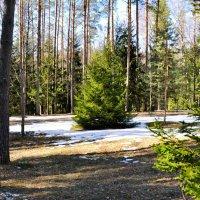 Весна в сосновом бору Катыни :: Милешкин Владимир Алексеевич