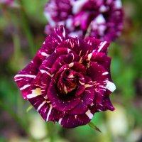 необычная роза :: Елена Константиниди