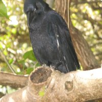 Австралийский ворон :: Антонина