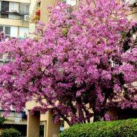 Цветёт баугиния розовая :: Герович Лилия