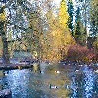 Озеро и Лебеди :: Света Кондрашова