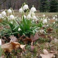 Первоцвет, в конце марта. :: Николай Чайкин