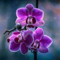 Орхидея :: Николай П