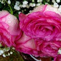 Плачут розы.... :: Светлана