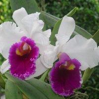 Орхидея Каттлея. :: Антонина