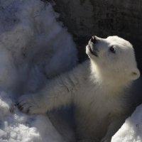 Маленький медведь :: Светлана Винокурова