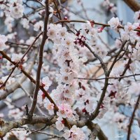 Цветение весеннее :: Paparazzi