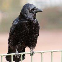Чёрный ворон :: Alexander Andronik
