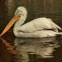 Старый пеликан :: Ирина Сивовол