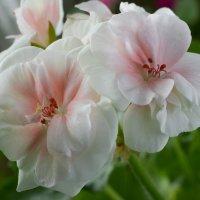 Домашние цветы :: Женя Лузгин