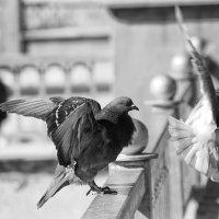 Просто голуби :: Валерий Чернов