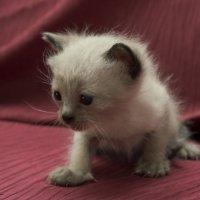 Первая в жизни фотосессия 2-из серии Кошки очарование мое! :: Shmual Hava Retro