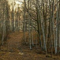 Рассвет в лесу. :: Александр Тулупов