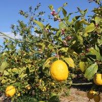 В лимоном саду :: Елена Олейникова