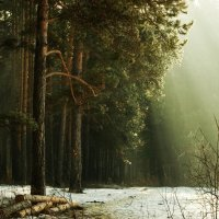 Утро в сосновом лесу. :: михаил суворов