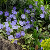 Синие цветочки :: Наталья Джикидзе (Берёзина)