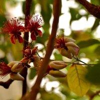 Вот так цветет фейхоа :: Валентина Папилова