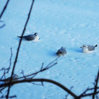 Чайки на снегу :: Маргарита Батырева