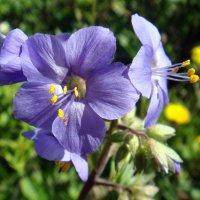 Синенький скромный цветочек! :: Елизавета Успенская