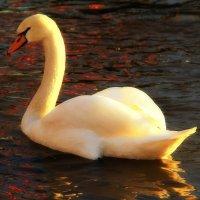 Лебедь на Рейне :: Natalya Danilova