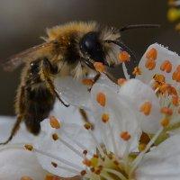 Первые пчелки :: Olena