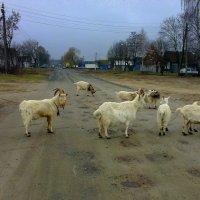 хозяева дороги - не объехать... :: Александр Прокудин