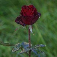 Берегите розы, розы берегите!!! :: Владимир Максимов