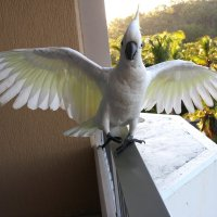 Какаду.Обитают только в Австралии :: Антонина