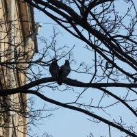 весенняя птичья парочка :: sv.kaschuk