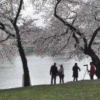 Cherry blossom in DC (6) :: Юрий Матвеев