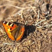 Первые бабочки этой весны :: Анатолий Иргл