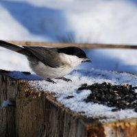черноголовая гаичка :: linnud
