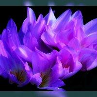 Её Величество Фиолет :: Владимир Хатмулин