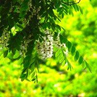 Белой акации гроздья душистые... :: Арина