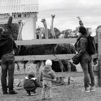 страусиная ферма :: xellena Мелющенкова