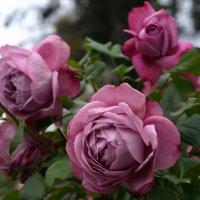 Розы :: Елена Кузнецова