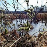 весна на болоте :: Александр Прокудин