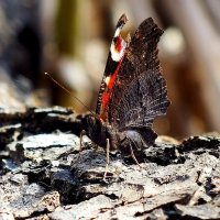 первая бабочка этой весны :: Александр Прокудин