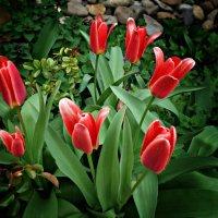 Тюльпан! - даёт салют весне! :: Galina Dzubina