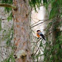 Утро в хвойном лесу :: Исаков Александр