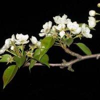 Ветка цветущей груши в ночи. :: Вячеслав Медведев
