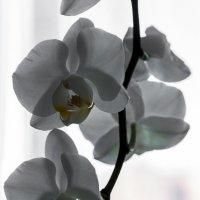 белая орхидея :: Алексей Цирятьев