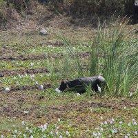 буйволы в болоте Индия :: maikl falkon