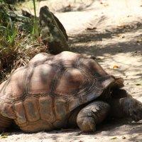 Гигантская черепаха Альдабра :: Антонина