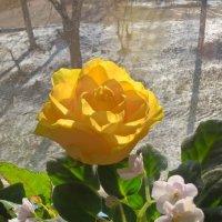 Роза и фиалки :: Елена Семигина