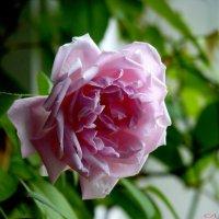 Вдыхая розы аромат.. :: Александр Садовский