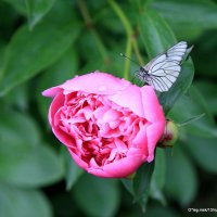 бабочка под дождем :: Олег Лукьянов