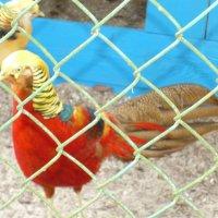 Рабица на фоне золотого фазана))) :: Юлия Бурносова